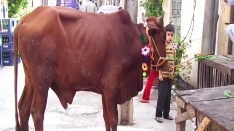 Sacrificial bull storms into hair salon in Lahore