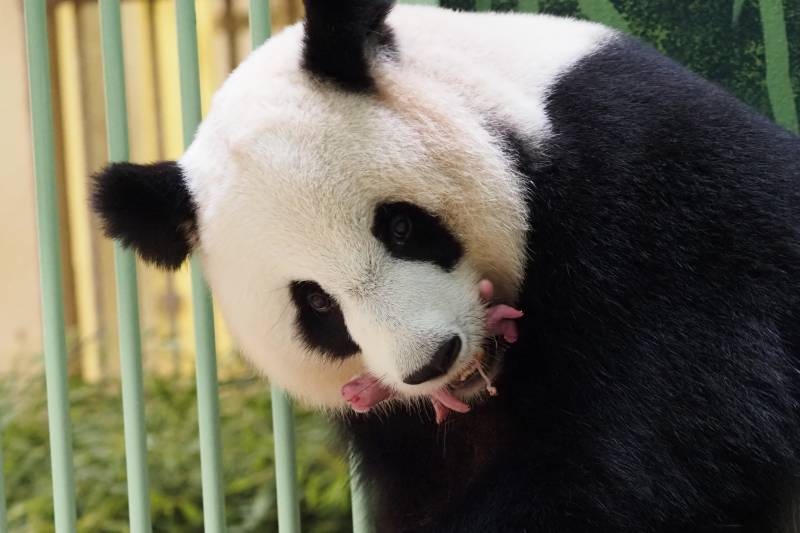 Panda loaned to France gives birth to twins: zoo