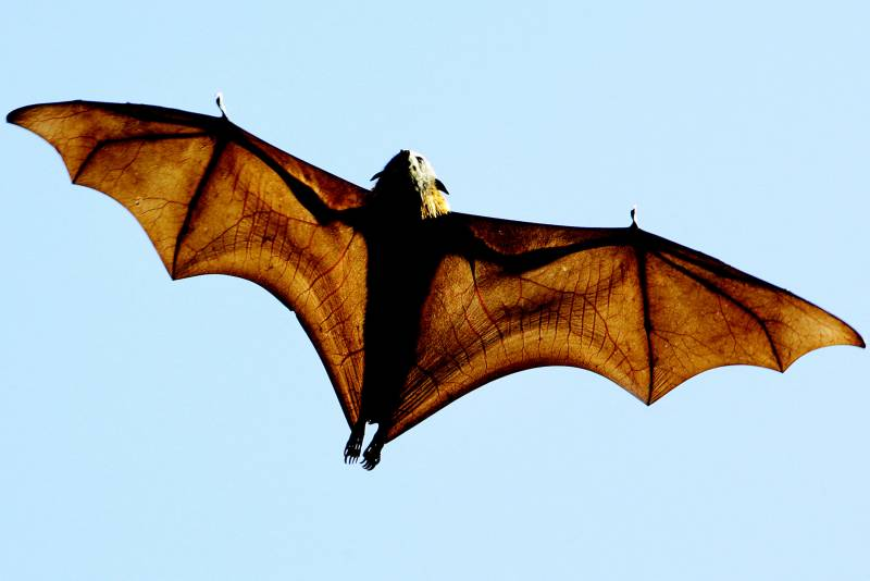 Could bats hold the secret to healthy ageing?