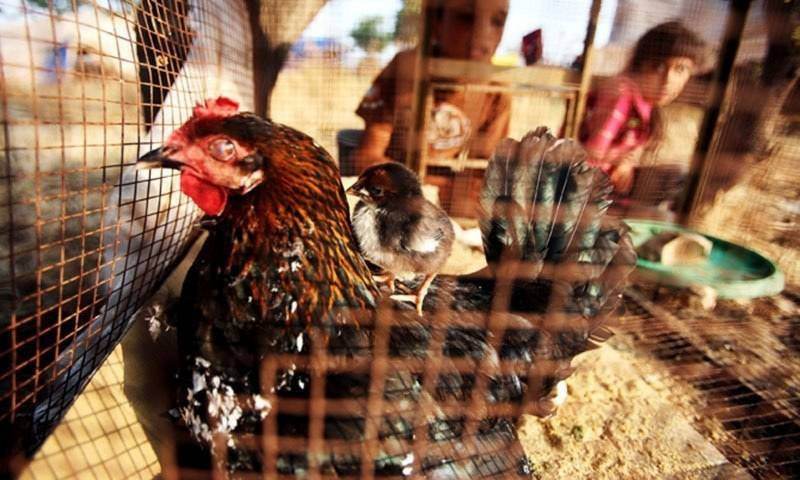 PM Imran's poultry scheme ends in beneficiaries bellies
