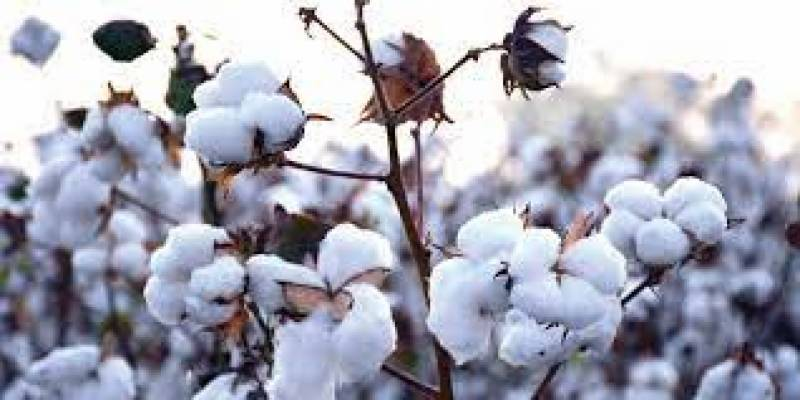 Cotton price surges by Rs300 per maund