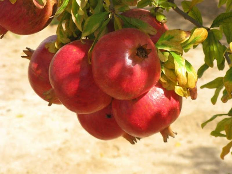 Pakistan abolishes sales tax on fruit imports from Afghanistan