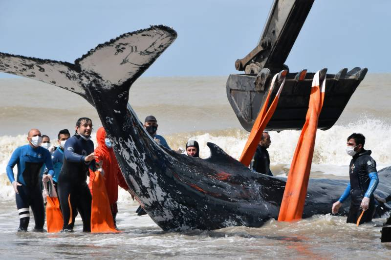 Two stranded humpback whales rescued in Argentina